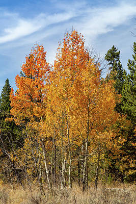 Photograph - Fall Aspen by Michael Chatt