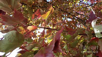 Photograph - Fall Maple Leaves by TJ Fox