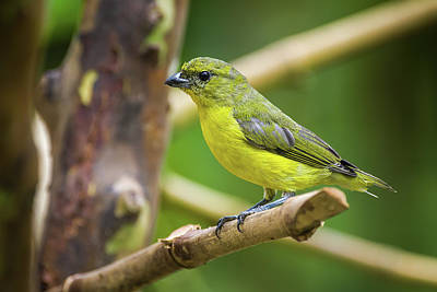 Amy Weiss - Female Thick Billed Euphonia Fincas Verdes San Antonio Tolima Co by Adam Rainoff