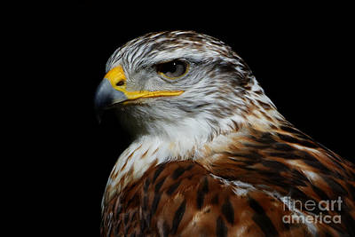 Photograph - Ferruginous Hawk Portrait by Sue Harper