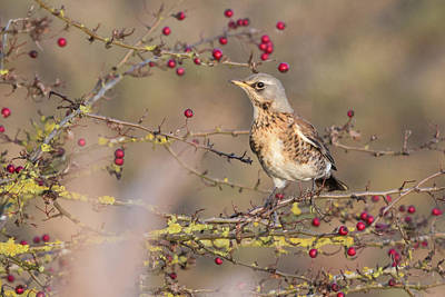 Photograph - Fieldfare by Wendy Cooper