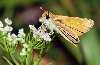 Photograph - Fiery Skipper by Larah McElroy