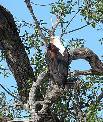 Animals Royalty-Free and Rights-Managed Images - Fish Eagle by Jennifer Wheatley Wolf
