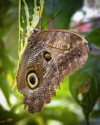 Photograph - Forest Giant Owl Butterfly Jardin Botanico Del Quindio Calarca C by Adam Rainoff