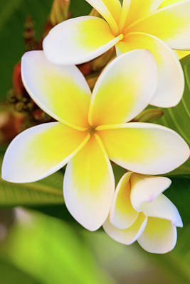 Yellow Photograph - Frangipani by Letty17
