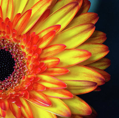 Photograph - Gerber Daisy  by Garvin Hunter