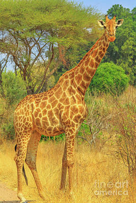 Photograph - Giraffe In Kruger by Benny Marty