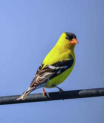 Photograph - Gold Finch In Spring Colors by Philip Rispin