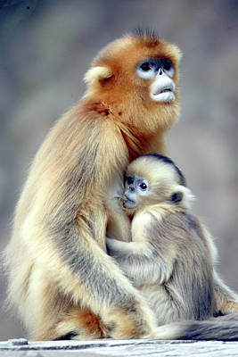 Animal Family Photograph - Golden Monkey by Floridapfe From S.korea Kim In Cherl