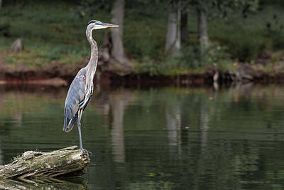 Wall Art - Photograph - Great Blue Heron by Phil Thach