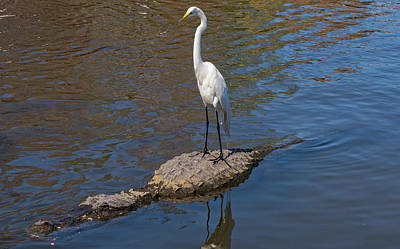 Photograph - Great Egret Hitching A Ride On An Alligator by Jim Vallee