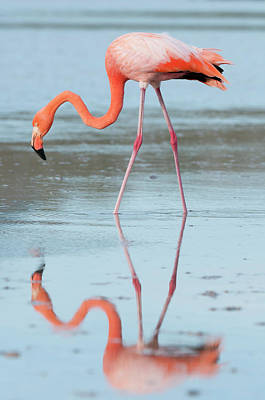 Photograph - Greater Flamingo Phoenicopterus Ruber by Tui De Roy/ Minden Pictures