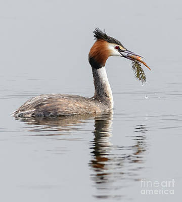 Photograph - Grebe With Fish by Colin Rayner