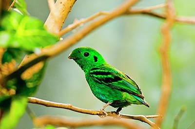 Green Broadbill Art Print
