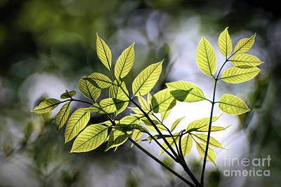 Photograph - Green Leaves In The Forest by Kerri Farley