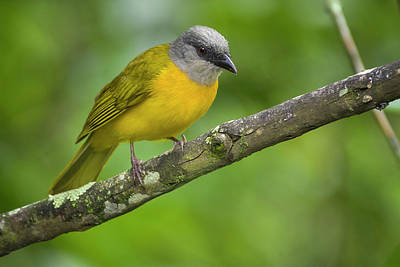 Photograph - Grey-headed Tanager Entreaguas Ibague Tolima Colombia by Adam Rainoff