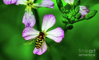 Photograph - Hoverfly On Flower by Bruce Block