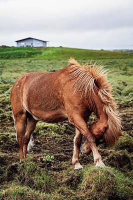 Photograph - Icelandic Horse Brenna IV by Mercedes Noriega