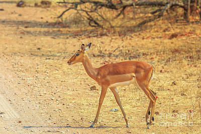 Photograph - Impala Female South Africa by Benny Marty