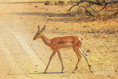 Photograph - Impala Female Walking by Benny Marty
