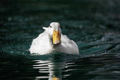Photograph - Incoming Duck by Saija Lehtonen
