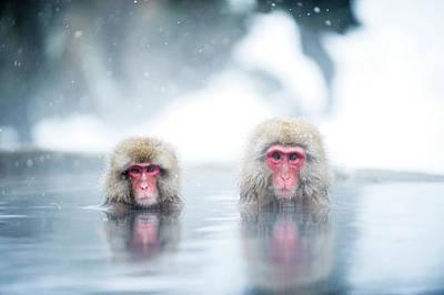 Photograph - Japanese Macaques by Yusuke Okada/a.collectionrf