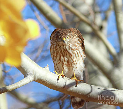 Juvenile Wall Art - Photograph - Juvenile Cooper's Hawk  by Gary Wing