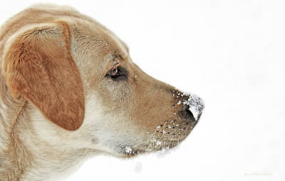 Photograph - Labrador Retriever Snow On My Nose by Jennie Marie Schell