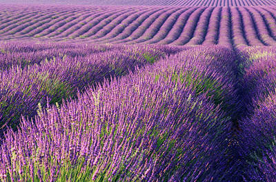 Photograph - Lavender Field by Cornelia Doerr