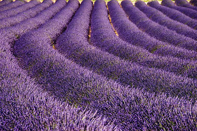 Photograph - Lavender Field, Provence by Bethune Carmichael