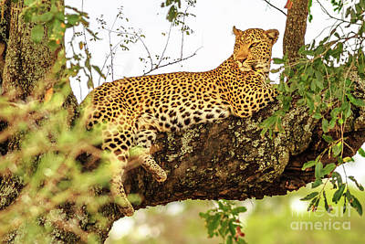 Photograph - Leopard On Tree by Benny Marty
