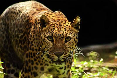 Leopard Art Print by Somak Pal