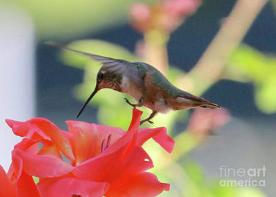 Photograph - Lightly Touching Down by Carol Groenen