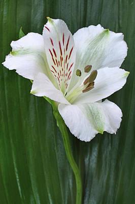 Lily Of The Incas Original