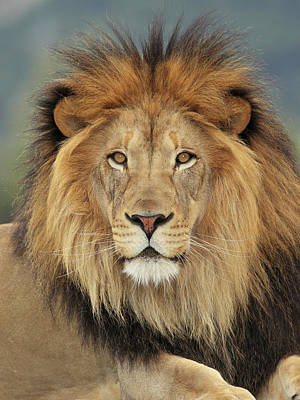 Photograph - Lion by S. Greg Panosian