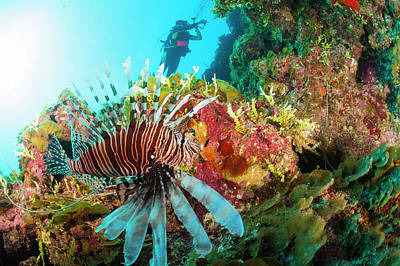 Exuma Photograph - Lionfish by Michele Westmorland