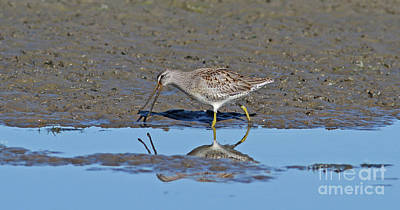 Juvenile Wall Art - Photograph - Long-billed Dowitcher by Gary Wing