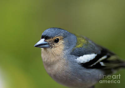 Photograph - Madeiran Chaffinch Male Portrait by Eva Lechner