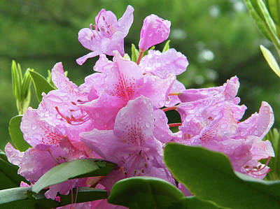 Photograph - Magenta Rhododendron In The Rain by Emmy Marie Vickers