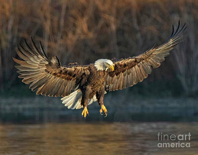 Photograph - Majestic Bald Eagle by Beth Sargent