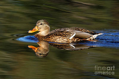 Photograph - Mallard Duck by Sue Harper