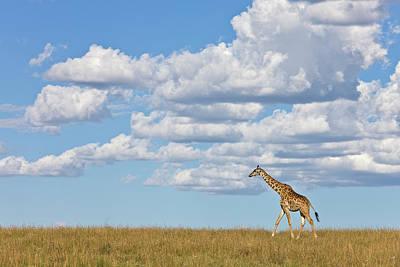 Photograph - Masai Giraffe Giraffa Camelopardalis by Ingo Arndt/ Minden Pictures