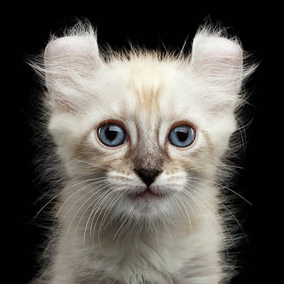 Cat Wall Art - Photograph - Mekong Bobtail Kitty With Blue Eyes On Isolated Black Background by Sergey Taran