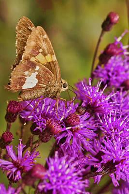 Photograph - Moth On Purple Flowers by Meta Gatschenberger