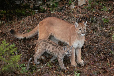 Photograph - Mother And Child - Mountain Lion by Teresa Wilson