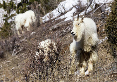 Photograph - Mountain Goat by Michael Chatt