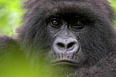 Photograph - Mountain Gorilla Gorilla Gorilla by Ingo Arndt/ Minden Pictures