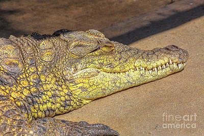 Photograph - Nile Crocodile Portrait by Benny Marty