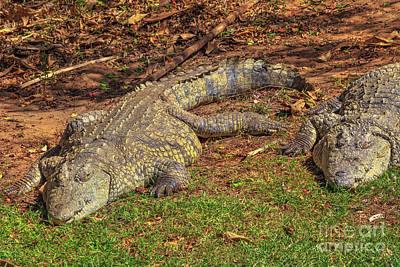 Photograph - Nile Crocodiles Sleeping by Benny Marty