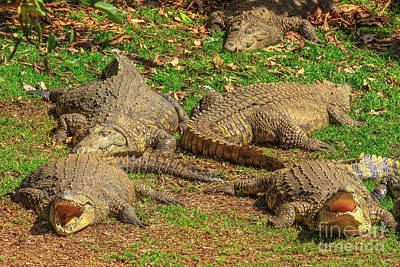 Photograph - Nile Crocodiles South Africa by Benny Marty